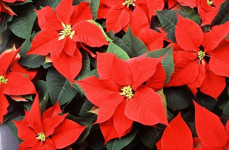 Квітка Різдв'яна зірка